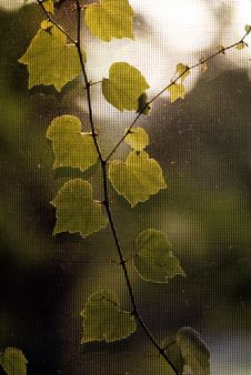 Free Ivy On Screen Royalty Free Stock Images - 1294129