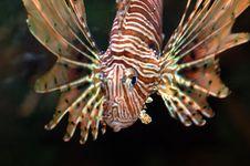 Free Lionfish2 Royalty Free Stock Image - 1295636