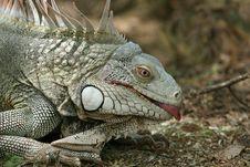 Free Iguana Showing A Tongue Stock Photo - 1297120