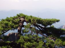 The Pine Of Huangshan In Anhui In China Royalty Free Stock Image