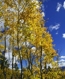 Free Yellow Aspen Trees Royalty Free Stock Photo - 1298355