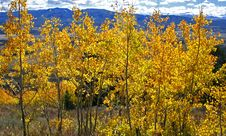 Free Yellow Aspen Trees Royalty Free Stock Image - 1298356