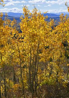 Free Yellow Aspen Trees Royalty Free Stock Image - 1298376