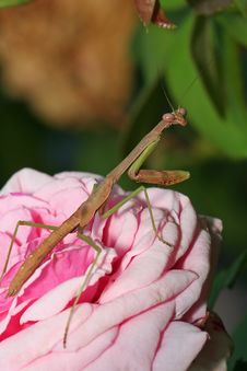 Free Mantis On Rose Stock Photos - 1299703