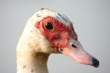 Free Duck Portrait Stock Photos - 1299833