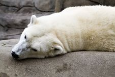 Free Polar Bear Royalty Free Stock Images - 1299959
