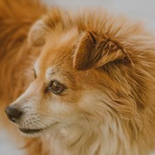 Free Close-up Photo Of Brown Dog Royalty Free Stock Image - 129026646