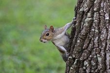 Free Portrait Of Grey Tree Squirrel Stock Image - 129182471