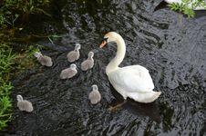 Free Bird, Water Bird, Swan, Ducks Geese And Swans Royalty Free Stock Photos - 129193118