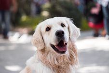 Free Adult Golden Retriever Close-up Photography Stock Photo - 129227960