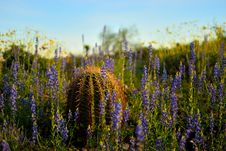 Free Selective Focus Photo Of Cactus On Bed Of Purple Lavender Flowers Stock Image - 129228141