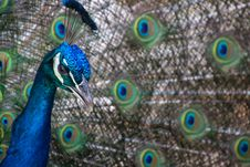 Free Blue And Green Peacock Close-up Photography Stock Images - 129228174