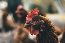 Free Selective Focus Photography Of Brown And Red Chicken Stock Photography - 129228832