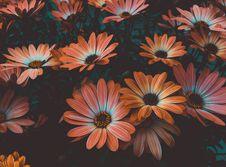Free Orange Daisy Flowers In Bloom Royalty Free Stock Photo - 129251565