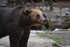 Free Brown Bear, Grizzly Bear, Bear, Terrestrial Animal Royalty Free Stock Photography - 129291317