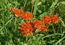 Free Plant, Flower, Flora, Milkweed Stock Photos - 129291403