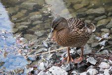 Free Bird, Duck, Water Bird, Water Stock Photography - 129291412