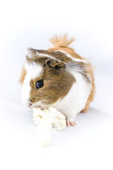 Free Guinea Pig Royalty Free Stock Images - 12932679