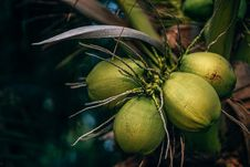 Free Selective Focus Photo Of Coconuts Stock Photo - 129414640