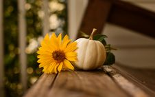 Free White Pumpkin And Yellow Flower O Royalty Free Stock Image - 129414766