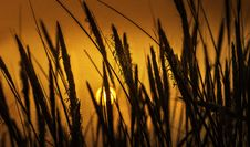 Free Silhouette Photo Of Wheat Plants Royalty Free Stock Photography - 129414777