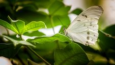 Free White Butterfly Perched On Green Leaf Royalty Free Stock Photo - 129414875