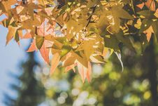 Free Selective Focus Of Maple Leaves Stock Image - 129414941