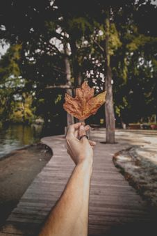 Free Person Holding Brown Dried Maple Leaf Royalty Free Stock Photos - 129415128