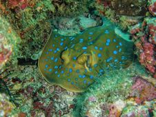 Free Grey And Blue Manta Ray Camouflage In Corals Royalty Free Stock Image - 129501156