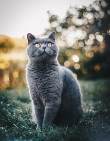 Free Photo Of British Shorthair Cat Sitting On Grass Field Royalty Free Stock Photo - 129501305
