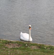 Free Bird, Swan, Water Bird, Water Stock Image - 129547561