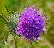 Free Silybum, Thistle, Flower, Noxious Weed Stock Photography - 129548002