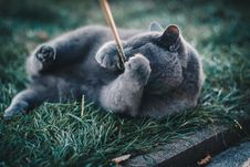 Free Photo Of Russian Blue Cat Playing With Brown Wooden Stick While Lying On Grass Royalty Free Stock Photo - 129686885