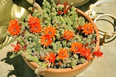 Free Plant, Flower, Flowering Plant, Hedgehog Cactus Royalty Free Stock Photo - 129752315