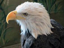 Free Beak, Bird Of Prey, Eagle, Bird Royalty Free Stock Photography - 129752337