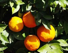 Free Citrus, Fruit, Valencia Orange, Bitter Orange Stock Photography - 129752572