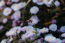Free White Daisy With Bee Stock Images - 129875034