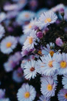 Free Daisy Flowers Stock Photography - 129875112