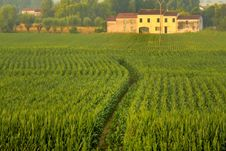 Free Agriculture, Field, Crop, Paddy Field Stock Images - 129936954