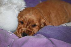 Free Dog, Dog Like Mammal, Dog Breed, Mammal Royalty Free Stock Photo - 129936985