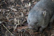 Free Fauna, Mammal, Marsupial, Wombat Royalty Free Stock Photos - 129937158