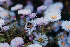 Free Blue Daisy Flowers Royalty Free Stock Photos - 129940228