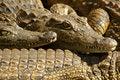 Free Crocodile 07 Royalty Free Stock Photo - 131625