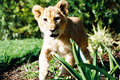 Free Lion Cub 01 Royalty Free Stock Image - 136406