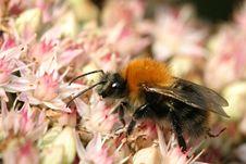 Free Bumblebee On Sedum Stock Photos - 130053