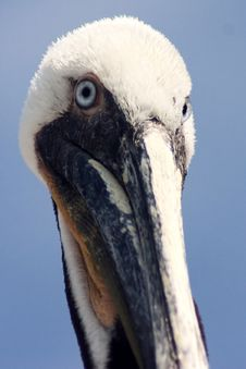 Free Long Beak Royalty Free Stock Photos - 130758