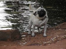 Free Wet Pug Stock Photography - 131112