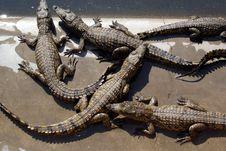 Free Crocodile 06 Royalty Free Stock Image - 131616