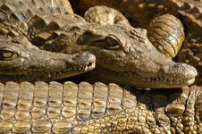 Free Crocodile 07 Royalty Free Stock Photo - 131625