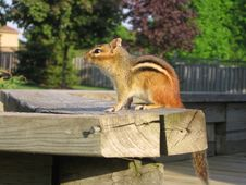 Free Chipmunk Watching The Sunset Stock Images - 133874